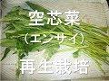 空芯菜(クウシンサイ・エンサイ)の再生栽培 の動画、YouTube動画。