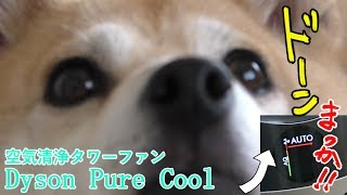 柴犬小春 緊急事態!?ダイソンの空気清浄機がレッドゾーン振り切る!Dyson Pure Cool