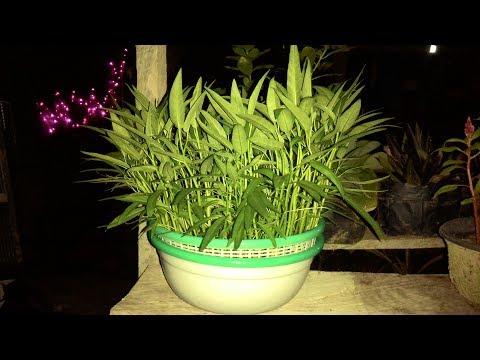 Tutorial Penanaman Kangkung Hidroponik Di Bakul & Baskom | How To Plant Hydroponic Kale In A Basin