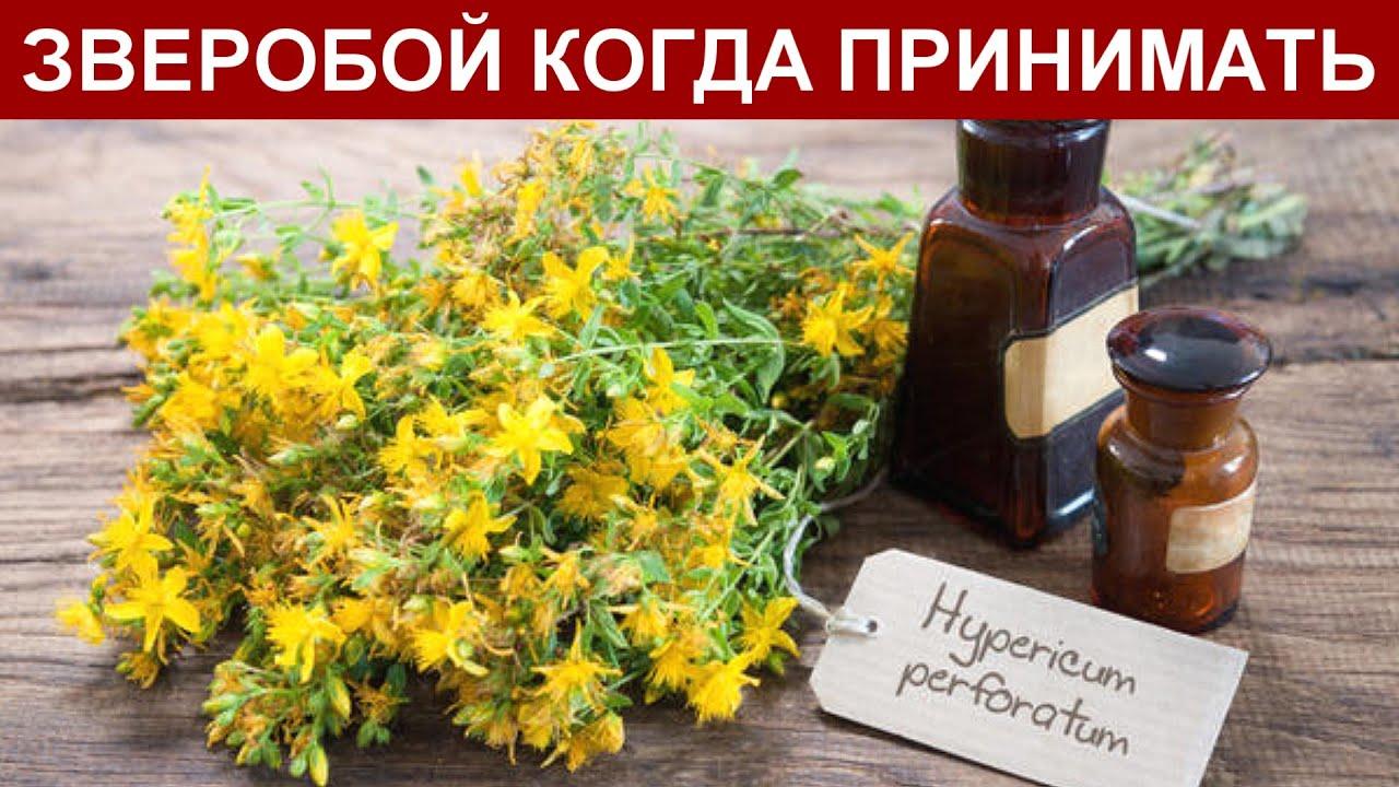 Зверобой трава: Лечебные Свойства, Польза. Как Заваривать и при каких Заболеваниях Принимать?