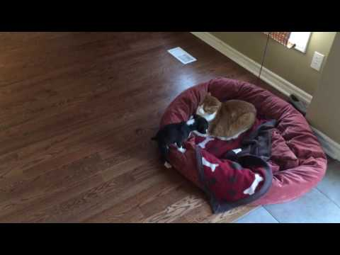 Dog Vs Cat Puppy  calls for backup