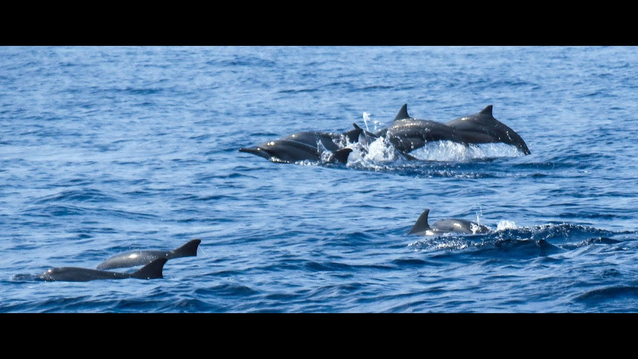 dolphin amp whale watching sri lankan   youtube