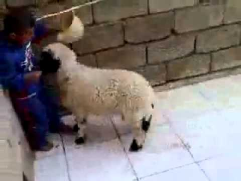 Tibetan boy vs little sheep