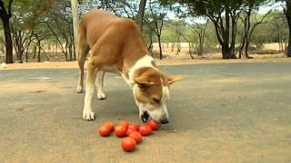 Indian Vegetarian Dog Eating Tomato Like Chicken