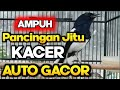 Pancingan Kacer  Jitu Bahan Kacer Cepat Gacor Siang Malam  Mp3 - Mp4 Download