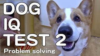 The Canine Iq Test 2 Problem Solving 犬のiqテスト2 問題解決能力 Goro@welsh Corgi コーギー Dog K9