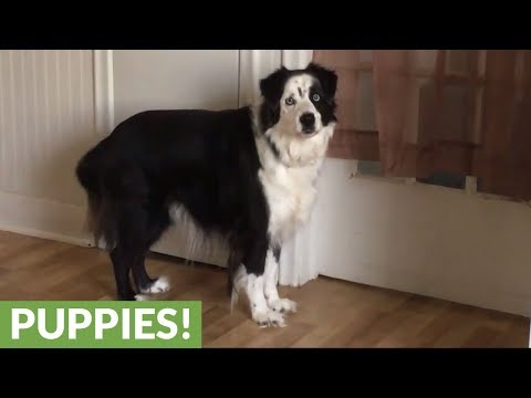 "Bratty dog stomps feet when told ""NO"""