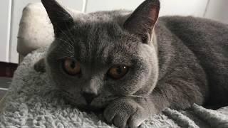 Drogo the British Shorthair Cat