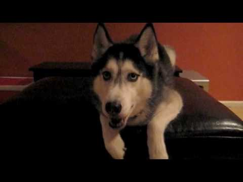 "I Love You Husky Puppy Mishka says ""I lo..."