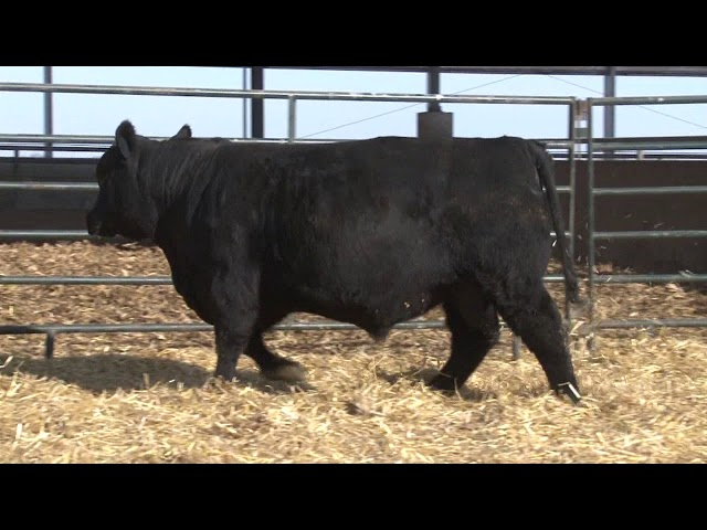 Schiefelbein Angus Farms Lot 128