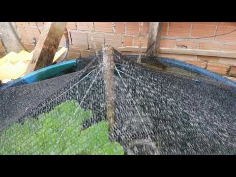 Como cuidar dos alevinos de til pia parte 1 doovi for Como criar mojarra tilapia en casa