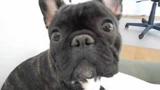 Dramatic french bulldog
