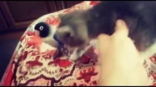#моилюбимыептомцы#котенок #попугай. Знакомство попугая   с котёнком!