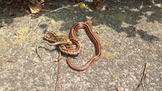 ヘビがトカゲに巻き付いて飲み込もうとしています。 thumbnail