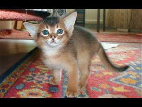 С первого взгляда в породе кошек охос азулес нет ничего экстраординарного и примечательного. Вроде кошка самая обычная, только есть одно но и.