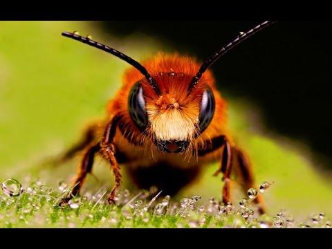 Gout Treatment: Bee Sting   Venom