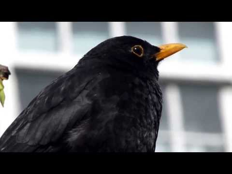 Blackbird - Svartþröstur - Fuglar - Söngfugl - Svarttrast -  Solsort -  Koltrast