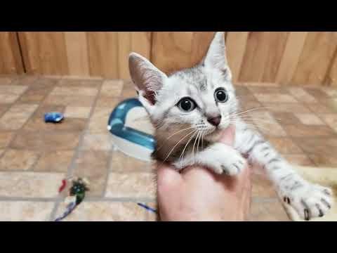 Wildtrax silver Egyptian Mau kittens playing, 9 weeks