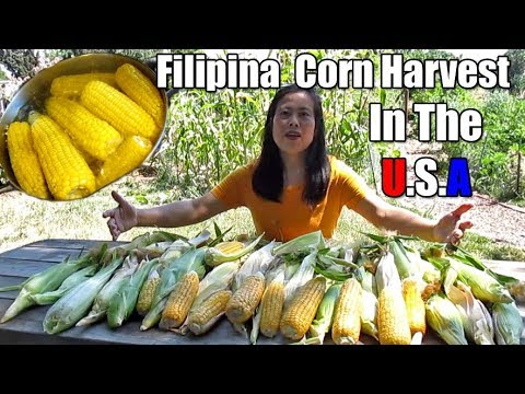 Filipina Harvests Organic Homegrown Corn Using The Stick Technique From The Backyard