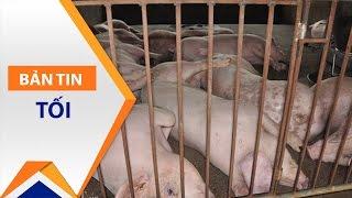 Đường cùng, người chăn nuôi phải bỏ đói lợn   VTC1
