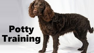 How To Potty Train An American Water Spaniel Puppy - House Training American Water Spaniel Puppies