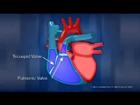 Работа сердца видео