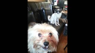 Yorkie says I love you ! Dog talking!!!!
