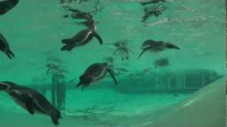 ZSL London Zoo Keeper tells us about the brand new penguin exhibit