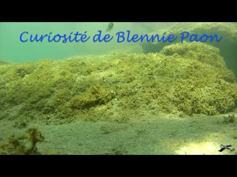 2015 07 06 Fv2L Blennie Paon, issue de la préhistoire 2015 07 11 2119
