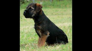 Josie the Border Terrier