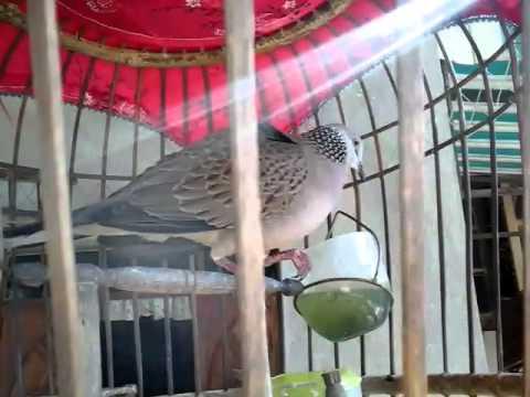 นกเขาใหญ่ต่อ