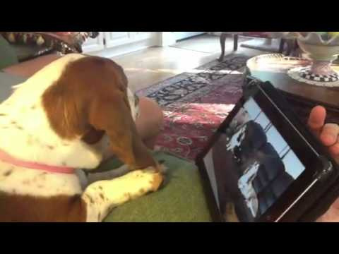 how to make a basset hound howl