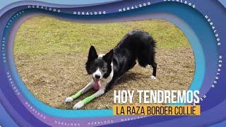 HeralDog | Border collie | Fabián Bravo, entrenador de perros | #PerrosPremier