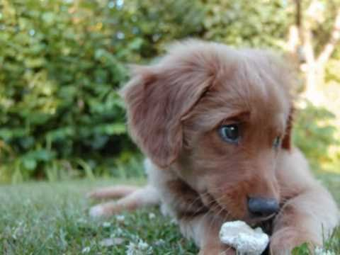 Cute Duckling Wallpaper Archie Our Cute Baby Toller Youtube