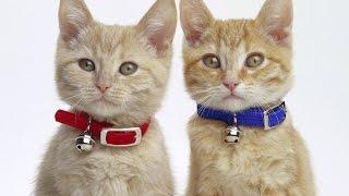 Коты, кошки, котята /Cat/ ч 1/ Котята поют под музыку баха / Приколы / Котэ Саратовский