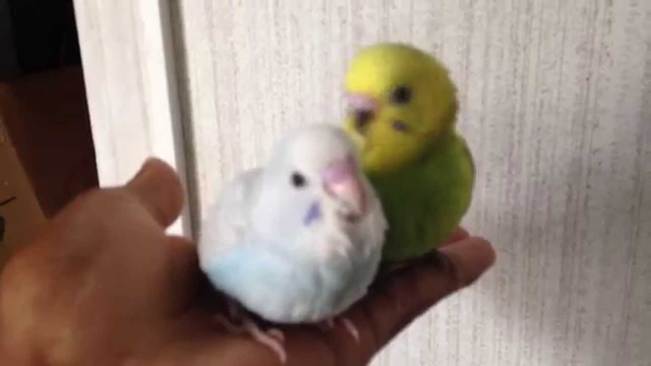 Hand raised parakeets at 5 weeks