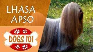 Dogs 101  LHASA APSO  Top Dog Facts About the LHASA APSO