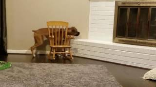 Boxer Dog Chasing a Laser Part 2