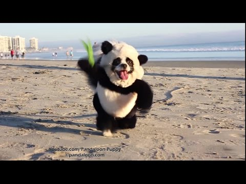 Panda Puppy Attacks California Beach!