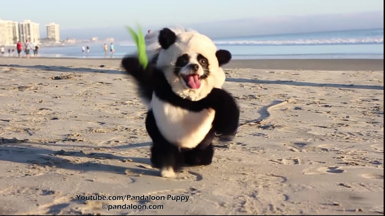 Panda Puppy Attacks California Beach!