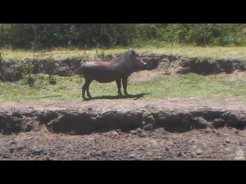 Grazing Warthog. Africa Watering hole cam. 24 January 2017