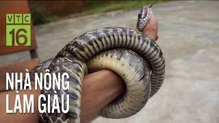 Kinh nghiệm nuôi rắn hổ trâu hiệu quả | VTC16