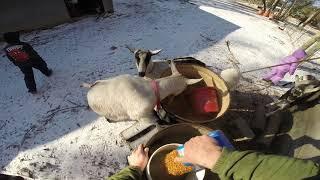 Daily feeding of the Farm Animals
