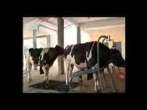 kmf dairy