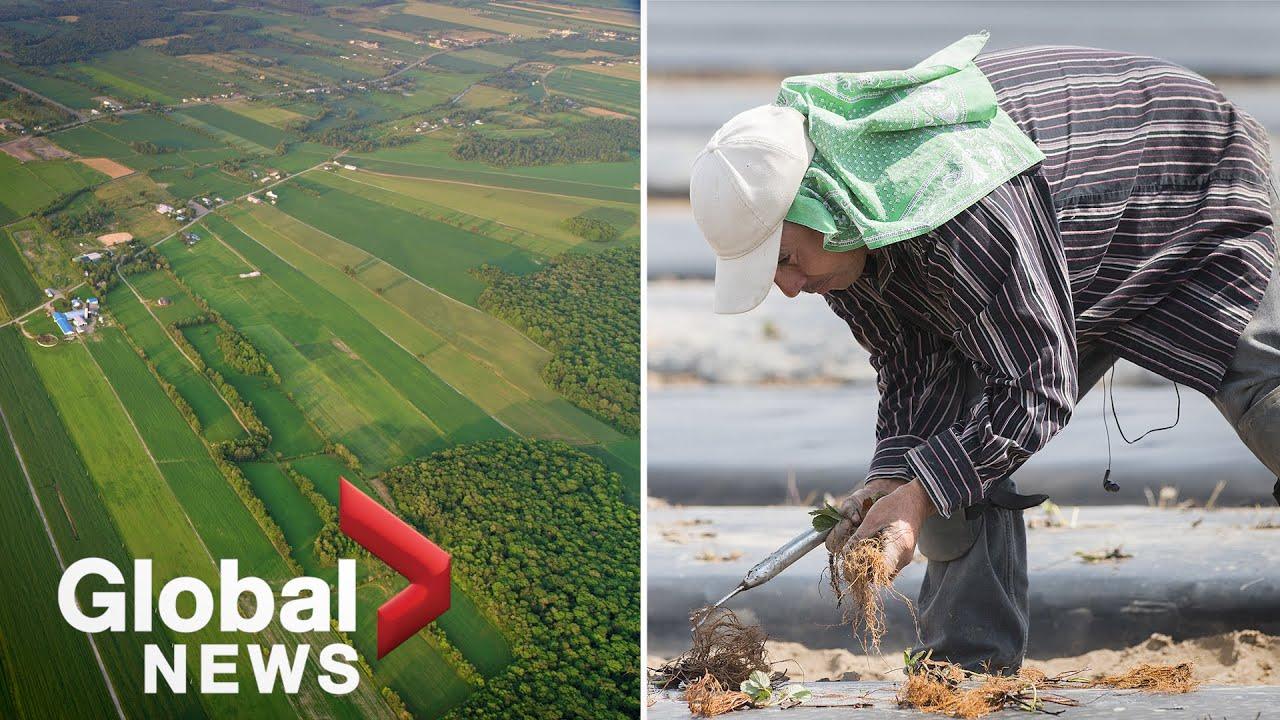 Coronavirus: The migrant worker crisis on Canadian farms