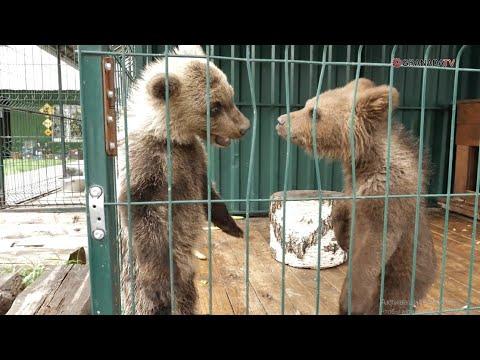 В приют Карена Даллакяна привезли медвежонка-сироту из Перми