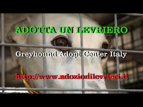 25 Irish Retired Greyhound for GACI Italy April 08 2017