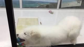 PETDESIGN町田店の仔犬情報を公開中! グレートピレニーズ 2016/3/17生...