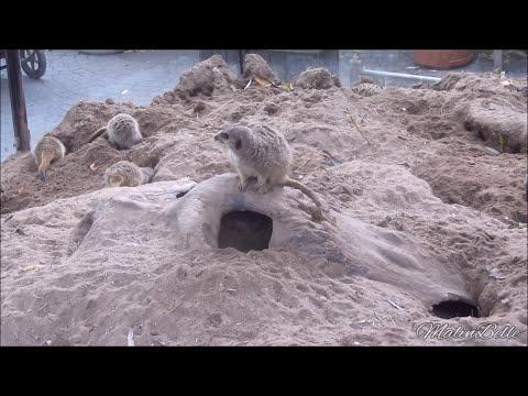 Meerkats @ Skansen Zoo, Stockholm, Sweden