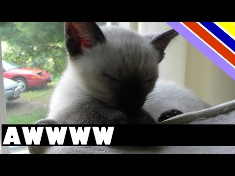 Siamese kitten makes cute noise